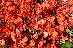 Close-up von Blumen, Tende, Provence, Provence-Alpes-Cote d ' Azur, Frankreich