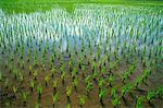 Thailand, Chiang Mai, Reisfelder