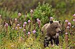 Young brown bear cub walks among blooming fireweed in the rain, Sable Pass, Denali National Park and Preserve, Interior Alaska, Summer