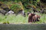 Ours brun semer plus âgés au saumon cub manger sur une berge près de Prince William Sound, montagnes Chugach, forêt nationale de Chugach, Alaska, Centre-Sud, l'été