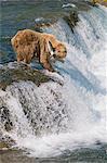 Adult Brown Bear fishing for salmon at top of  Brooks Falls, Katmai National Park, Southwest Alaska, Summer