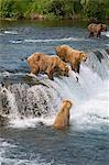 Quatre ours brun pêche du saumon à Brooks Falls, Katmai National Park, sud-ouest de l'Alaska. Numériquement modifié.