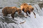 Trois saumons sauter devant deux grizzlis adultes debout en haut des chutes de Brooks, Katmai National Park, sud-ouest de l'Alaska, l'été