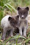 Close up of Arctic Fox pups, Saint Paul Island, Pribilof Islands, Bering Sea, Alaska, Southwestern, Summer