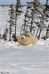 Oursons de l'ours blanc (Ursus maritimus) Twin se blottir avec leur mère dans la neige, Parc National Wapusk, Manitoba, Canada, hiver