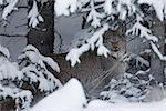 Wild Canada Lynx hides beneath snow covered spruce boughs, Kluane National Park, Yukon Territory, Canada, Winter