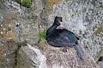 Red-faced Cormorant nesting on a cliff ledge, St. Paul Island, Pribilof Islands, Bering Sea, Southwest Alaska