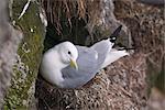 Black-legged Kittiwake nesting on St. Paul Island, Pribilof Islands, Bering Sea, Southwest Alaska