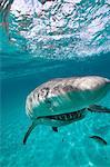 Grimaçant requin citron