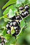 Cluster von schwarzen Johannisbeeren