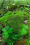 Mousse couvertes de roches dans la forêt, la rivière Soca, Slovénie