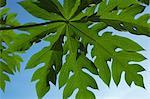 Nahaufnahme der Papaya Blätter, Ubon Ratchathani, Provinz Ubon Ratchathani, Thailand