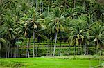 Palm Trees and Rice Terraces, Sumba, Lesser Sunda Islands, Indonesia