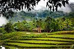 Rizières en terrasses. Lapale, Sumba (Indonésie)