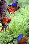 Aras (Ara macao) en faisant valoir, Parc National de Corcovado, péninsule d'Osa, Costa Rica, l'Amérique centrale