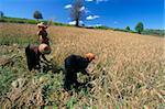 Pa-O women working in fields, road to Pindaya, Shan State, Myanmar (Burma), Asia