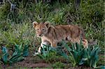 Lion cub (Panthera leo), Kariega Game Reserve, South Africa, Africa