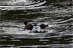 Hippopotamus (Hippopotamus amphibius), Kariega Game Reserve, South Africa, Africa