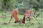 Impala (Aepyceros melampus), Kariega Game Reserve, South Africa, Africa