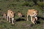 Lion (Panthera leo), Kariega Game Reserve, South Africa, Africa