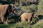 Éléphant (Loxodonta africana) et young, Kariega Game Reserve, Afrique du Sud, Afrique
