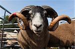 Béliers blackface dans l'enclos à moutons à upland show, Falstone frontière Berger montrent, Northumberland, Angleterre, Royaume-Uni, Europe