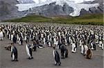 Colonie de pingouins roi (Aptenodytes patagonicus), Gold Harbour, Géorgie du Sud, Antarctique, régions polaires