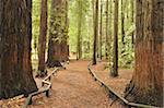 Walkway, The Redwoods, Rotorua, Bay of Plenty, North Island, New Zealand, Pacific