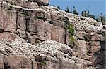 Basstölpel Kolonie, Ile Bonaventure offshore Perce, Quebec, Kanada, Nordamerika