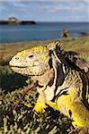 Galapagos land iguana (Conolophus subcristatus), Islas Plaza (lPlaza island), Galapagos Islands, UNESCO World Heritage Site, Ecuador, South America