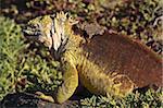 Iguane terrestre de Galapagos (Conolophus subcristatus), Islas Plaza (Plaza island), aux îles Galapagos, patrimoine mondial de l'UNESCO, Equateur, Amérique du Sud