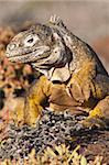 Iguane terrestre de Galapagos (Conolophus subcristatus), Isla Plaza (Plaza island), aux îles Galapagos, patrimoine mondial de l'UNESCO, Equateur, Amérique du Sud
