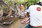 Pélicans bruns attendent des restes du marché aux poissons, Puerto Ayora, Isla Santa Cruz (Santa Cruz island), aux îles Galapagos, Equateur, Amérique du Sud