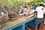 Braune Pelikane warten Reste am Fischmarkt, Puerto Ayora, Isla Santa Cruz (Santa Cruz Island), Galapagos-Inseln, Ecuador, Südamerika