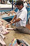 Seelöwe stiehlt Reste am Fischmarkt, Puerto Ayora, Isla Santa Cruz (Santa Cruz Island), Galapagos-Inseln, Ecuador, Südamerika