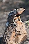 Lézards de lave (Microlophus albemarlensis), Port Egas (baie James), Isla de Santiago (île de Santiago), aux îles Galapagos, patrimoine mondial de l'UNESCO, Equateur, Amérique du Sud