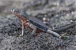 Lézards de lave (Microlophus albemarlensis), Point Espinosa, Isla Fernandina (Île Fernandina), aux îles Galapagos, patrimoine mondial de l'UNESCO, Equateur, Amérique du Sud