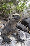 Marine iguana (Amblyrhynchus cristatus), Espinosa Point, Isla Fernandina (Fernandina Island), Galapagos Islands, UNESCO World Heritage Site, Ecuador, South America
