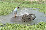 Éléphant pulvérisation elle-même et le cornac, tout en se baignant dans l'eau, entouré par la jacinthe d'eau, Kaziranga, en Assam, Inde, Asie
