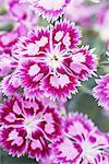 Fleurs de Dianthus « Cranberry Ice ».
