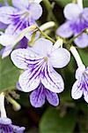 Fleurs de Streptocarpus « Sylvie ».