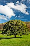 Chêne Lone Prairie, Keswick, Cumbria, Angleterre