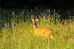 Roebuck in Meadow, Hesse, Germany