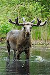 Bull Moose im Wasser, Hessen, Deutschland