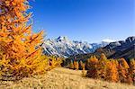 Autumn Larch Trees in front of Mount Sorapis and Croda da Lago, Dolomites, Italy