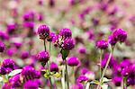Purple Flowers in Meadow, Myanmar