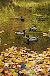 Mallards on Lake in Autumn, Stourhead, Wiltshire, England