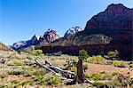 Dead Tree et tours de la Vierge, Zion National Park, Utah, Etats-Unis