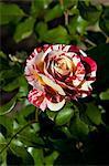 Rouge et rose blanche