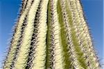 Cactus à Yuma, comté de Yuma, Arizona, USA